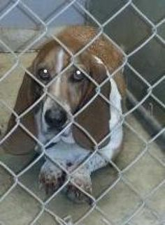 Deuce is an adoptable Basset Hound Dog in Greenville, SC  .