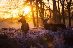 Sunset stag, Arturas Kerdokas