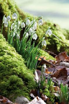 Snowdrops, so pretty!  One of my favorites!