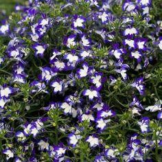 Purple Lobelia Flower Seeds