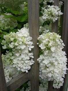 Lovely white PeeGee hydrangeas peeking through a trellis