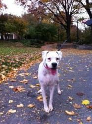 Lily is an adoptable Boxer Dog in Lancaster, PA. FOSTER HOME NEEDED - DEAF BOXER Lily is a beautiful white deaf female Boxer. She loves other dogs and came into the rescue with her sister Boxer, Marcy...