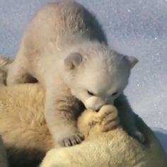 Baby Animal Videos, Funny Animal Videos, Cute Funny Animals, Cute Baby Animals, Animals And Pets, Tierischer Humor, Baby Polar Bears, My Animal, Pet Birds