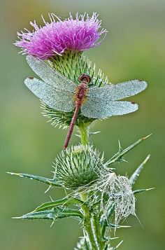dragonfly | Dragonfly on Thistle; photo by .Dean Pennala