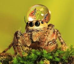 Jumping spiders wearing tiny dew drops as hats