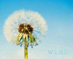 WISH Nature Photograph Dandelion Photo Shabby by susannajarian