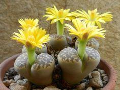 Lithops dorotheae