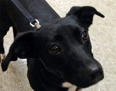 Petfinder Adoptable   Dog   Dachshund - Terrier Mix   Oklahoma City, OK   Tallula
