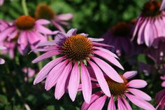 7 plantas medicinales que puedes cultivar en tu jardín - Equinácea purpúrea