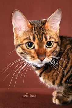 Toyger... Josh an I are getting a toyger.