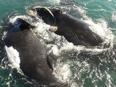 Hermanus is a popular seaside town in South Africa on the famous whale coast route, close to Cape Town. Read all about travel in our Hermanus Online Travel Magazine Female Cow, Travel Magazines, Online Travel, Seaside Towns, Tonne, Whales, Shallow, 3 Years, Behavior