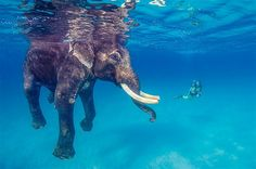 Image: An Asian elephant named Rajan takes a dip in the Bay of Bengal off Andaman Islands, India. Rajan, who used to be a working elephant, ...