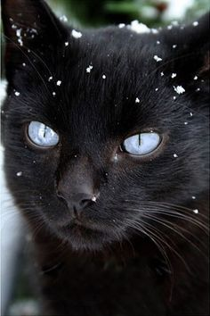 Snow-sprinkled gorgeous black cat.