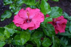 dr. moy's red dragon hibiscus