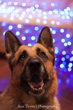 Yuletide Joy by MissLoony.deviantart.com on @deviantART My german shepherd and his holiday spirit :D