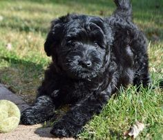 Has anyone else noticed that Labradoodle puppies are freaking adorable but the adults just look overgrown and kinda strange?