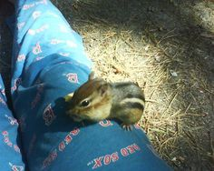 This is Charlie The Chipmunk. Him and his two friends came every day for breakfast when I called them when we were camping at Myles Standish in Plymouth,MA