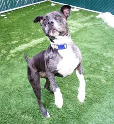 RETURNED AGAIN 4/15/17 ! BITEANIMAL! POOR SWEETHEART! SAFE❤️❤️ 3/27/17 PLEASE GIVE HER A GOOD LONG LIFE❤️ SHE SEEMS TO HAVE HAD IT ROUGHLY -LOVE HER SO MUCH❤️ /ij🐾🐾 RETURN! ALLERGIES! SUPER URGENT Manhattan Center OREO – A1100862 **RETURNED 03/15/17** SPAYED FEMALE, BLUE MERLE / WHITE, AMERICAN STAFF / CATAHOULA, 2 yrs, 2 mos RETURN – AVAILABLE, HOLD RELEASED Reason ALLERGIES Intake condition EXAM REQ Intake Date 03/13/2017, From NY 10027, DueOut Date 03/13/2017