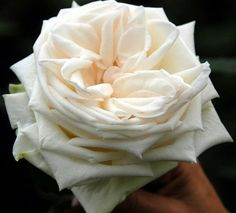 White O'Hara Garden Rose - it really looks like this!  Barely a whisper of blush.