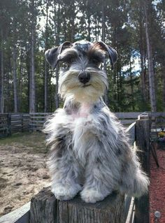 Absolutely adorable Merle schnauzer