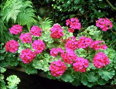 Plant the horseshoe pelargonium in a pot so that you can put it out to pasture in the summer, and bring it inside for more stable winter conditions.