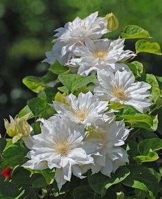 Clematis: una trepadora de gran valor ornamental.   Cuidar de tus plantas es facilisimo.com