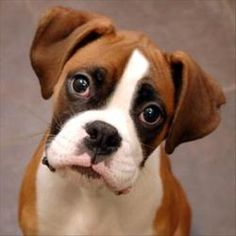 Duke is an adoptable Boxer Dog in Des Moines, IA. Oh my goodness is this little guy cute!! He's smart, too, and already has a good start on sit! Duke is definitely still a pup, though, so you'll need ...