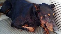 Five year old Zeus, a Doberman pinscher, took a bullet to the face while defending his owner from an armed trespasser on Monday evening.
