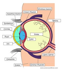 Structure Of Human Eye With Diagram Mini Split Wiring 16 Best Model Ball Images Anatomy Eyes Learn About The