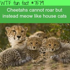Cheetahs don't roar - WTF fun facts