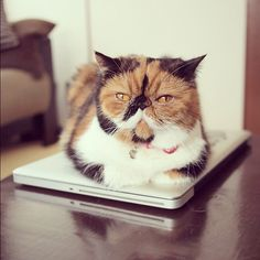 1000+ images about Calico Cats on Pinterest Calico cats, Kittens and Kitten for sale