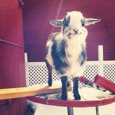 One little happy goat