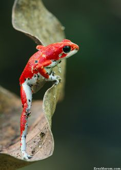 The Athlete by Erez Marom on The incredibly sweet yet hard-to-get strawberry poison-dart frog (Oophaga pumilio), showing some athletic skills! Photo taken in Bocas del Toro, Panama. Les Reptiles, Reptiles And Amphibians, Mammals, Colorful Animals, Nature Animals, Cute Animals, Wild Animals, Funny Frogs, Cute Frogs