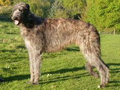 Deerhounds are huge! NoahsDogs.com