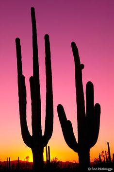 Saguaro Cactus Sunset, Sonoran Desert, Arizona, USA Arizona Usa, Sedona Arizona, Superstition Mountains, Arizona Cactus, Desert Cactus, Beautiful Sunset, Beautiful Things, Cactus Flower, Cacti And Succulents