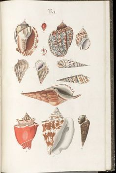 Prodromus in systema historicum testaceorum / - Biodiversity Heritage Library Painted Shells, Botanical Illustration, Botanical Prints, Sea Creatures, Vintage Prints, Antique Prints, Natural History, Art Forms, Painting & Drawing