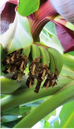 Banana Trees in the Gardens of Lindos Princess