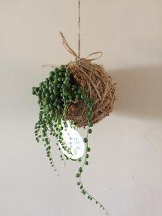 String of Pearls Kokedama Hanging Succulents, Succulents Garden, Garden Pots, Air Plants, Cactus Plants, Indoor Plants, Cacti, Bottle Garden, String Of Pearls
