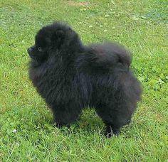 love pomeranian.. especially the black one :))