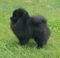 love pomeranian.. especially the black one :))
