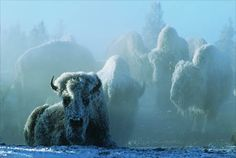 Bison covered with snow frost from the steam of the geyser basin. A prime example of the beauty of Yellowstone in winter. Photos by Tom Murphy. West Yellowstone, Yellowstone National Park, National Parks, Yellowstone Winter, Wyoming, National Geographic Fotos, Tom Murphy, University Of Montana, American Bison