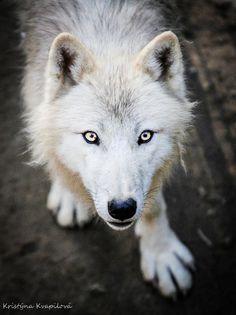 Wolf by KristynaKvapilova