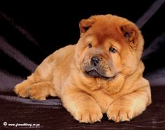 Red Smooth Chow Chow Puppy | Ciao Chows