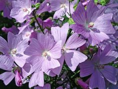 Musk Mallow i(Malva moschata)/i - Six Types of Flowers to Attract Helpful Insects on HGTV Hardscape Design, Flower Artwork, Hollyhock, Types Of Flowers, Water Features, Backyard Landscaping, Insects, Artwork Ideas, Landscape