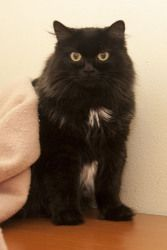 Madison is an adopted Domestic Long Hair-Black Cat in Neenah, WI. Hello, my name is Madison or you can call me Princess Madison if you prefer. I am a young adult female cat that arrived at the shelter...