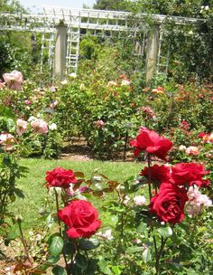 Huntington Rose Garden Pasadena | shot of a small section of the rose garden. This is the most amazing ...