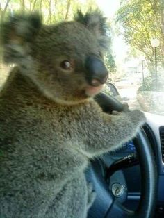 This koala who has made it out of the eucalyptus tree and into the driver's seat.