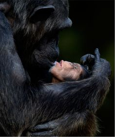 The expression of sheer bliss on an infant chimp's face…