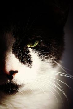 tuxedo cat with lovely green eyes