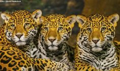 Qual o destino de felinos selvagens que saem do habitat natural para as cidades brasileiras? http://abr.ai/1pQ0q6Q